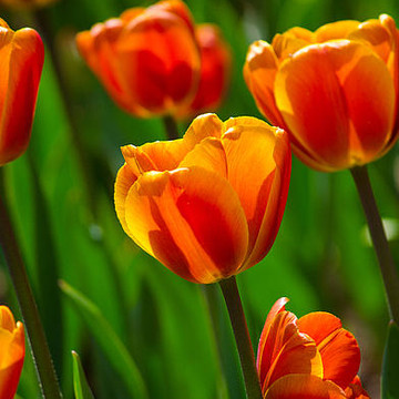 Tulips Collection