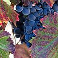 Vineyards Grapes Leaves
