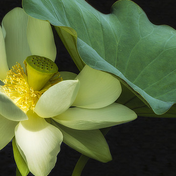 Water Lilies and Lotus Flowers Collection