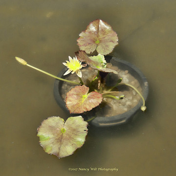 Water Lilies in Untermeyer Park Collection