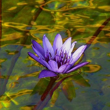 Water Lilies Collection