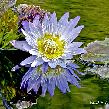 Water Lily Pond and Frogs Collection