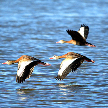 Whistling Ducks Collection