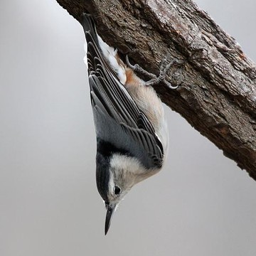 White-breasted Nuthatch Collection