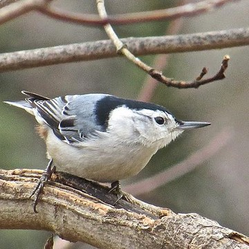 White Breasted Nuthatch Collection
