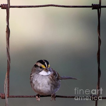 White-throated Sparrow Collection
