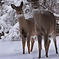Whitetail Deer Collection