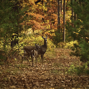 Whitetails Collection