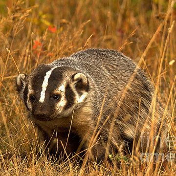 Wild Badgers Collection