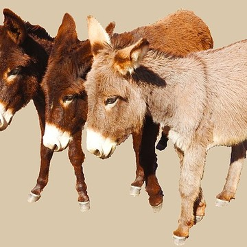 Wild Burros of the Desert Collection
