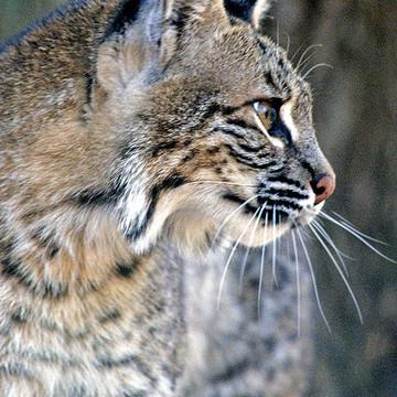 Wild Felines Collection