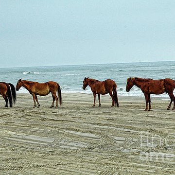 Wild Horses Corolla NC OBX Collection