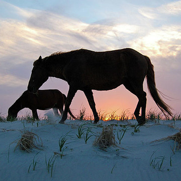Wild Horses of Assateague Island Collection