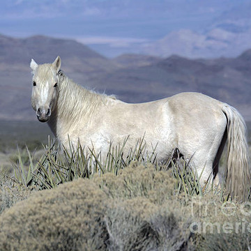 Wild Mustangs & Burros