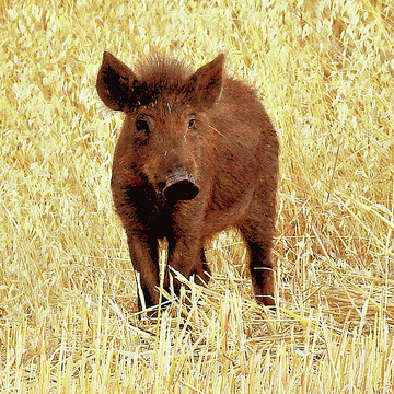 Wild Pigs Collection