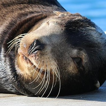 Wild Sea Lions & Seals & Sea Otters  Collection