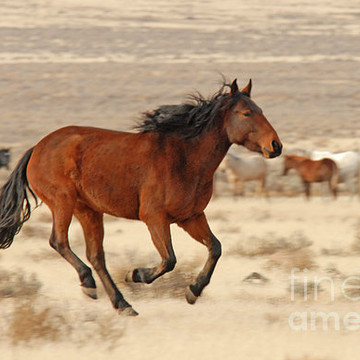 Wild Stallions and Mares