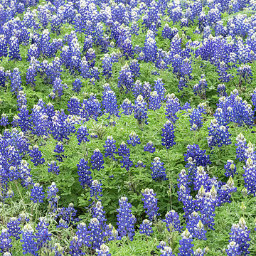 Wildflowers of Texas. Collection