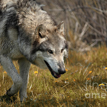 Wolf Photographs Collection