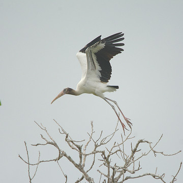 Wood Stork Texas Collection