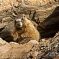 Yellow Bellied Marmot Collection