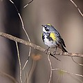 Yellow-Rumped Warbler Collection