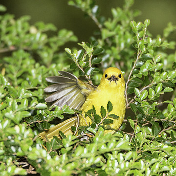 Yellowhead  Mohua Collection