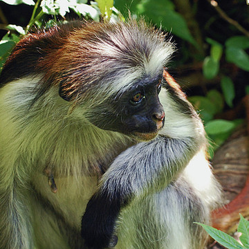 Zanzibar Red Colobus Collection