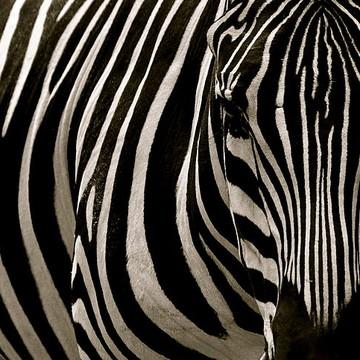 Zebra Patterns Collection