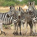 Zebras of Botswana Collection