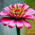 Zinnias Collection