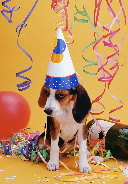 happy birthday beagle puppy greeting card for sale by stan fellerman, Birthday card