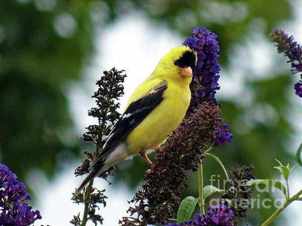 Cindy Treger - American Goldfinch