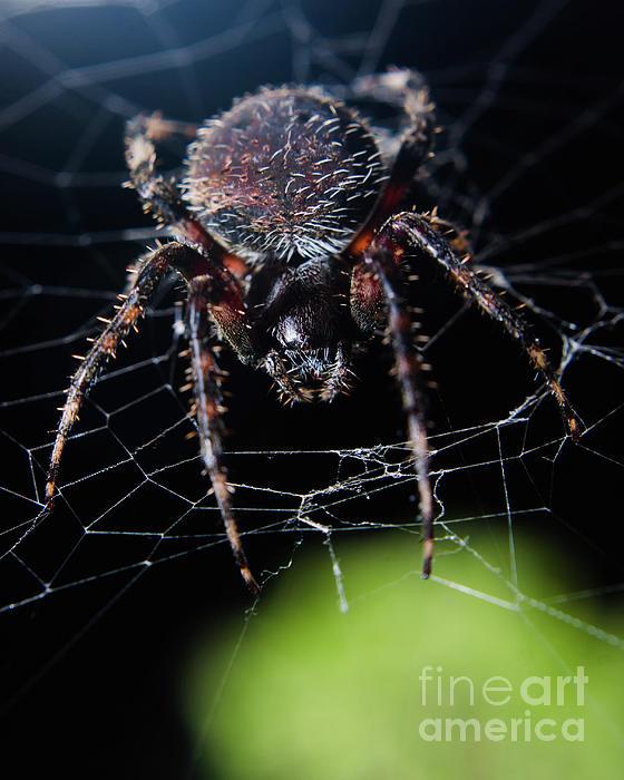 Melissa Fague - Backyard Buddy Spider Photograph