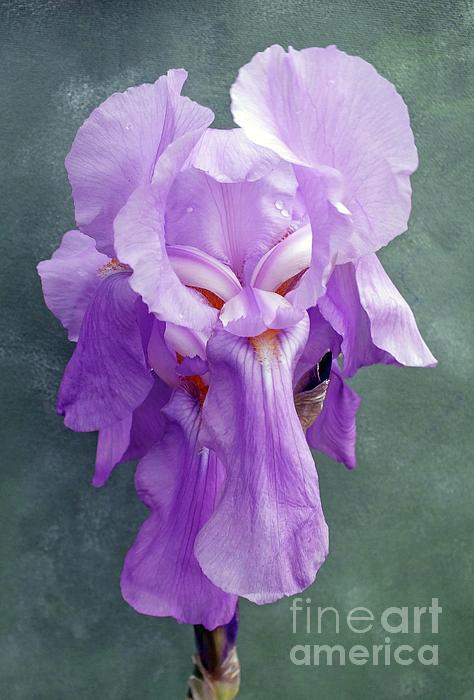 Cindy Treger - Bearded Iris With A Face