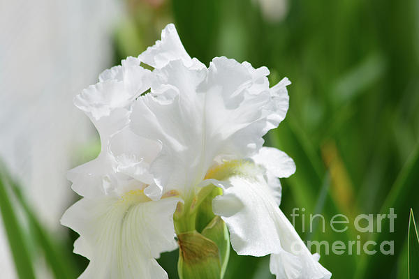 Ruth Housley - Beautiful White Iris