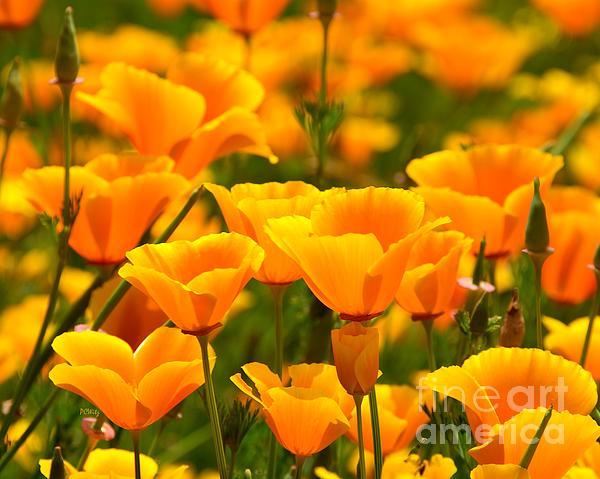 Patrick Witz - California Poppies