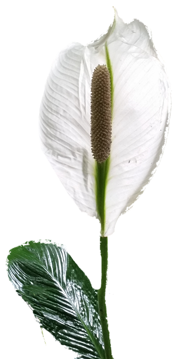Calla Lily Shower Curtain For Sale By Pamela Walton