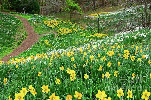 Regina Geoghan - Daffodil Garden Delight