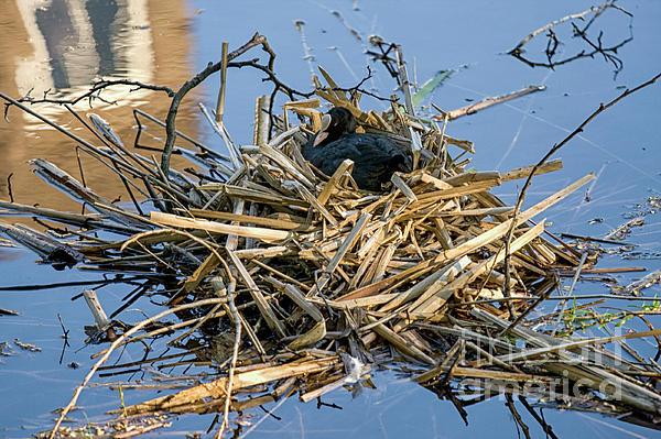 Patricia Hofmeester - Eurasian coot on nest
