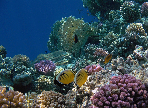 Johanna Hurmerinta - Exquisite Butterflyfish in the Red Sea