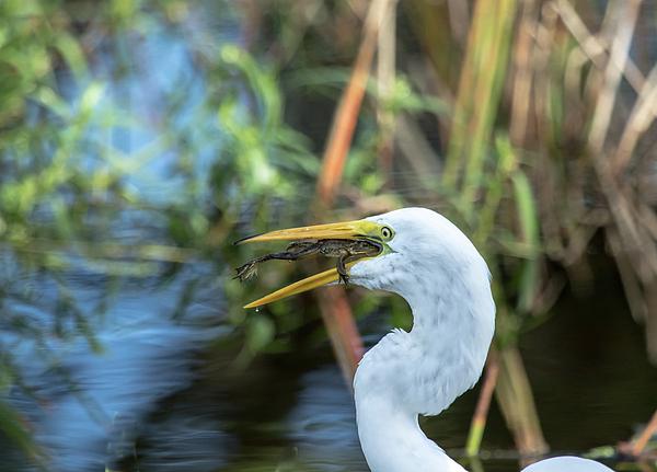 Darrell Gregg - Great White Egret