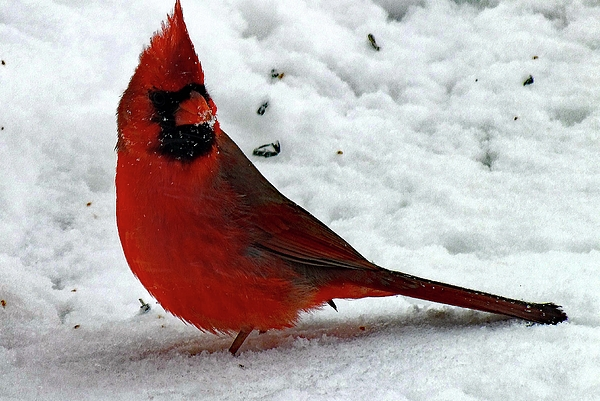 Cindy Treger - Male Northern Cardinal
