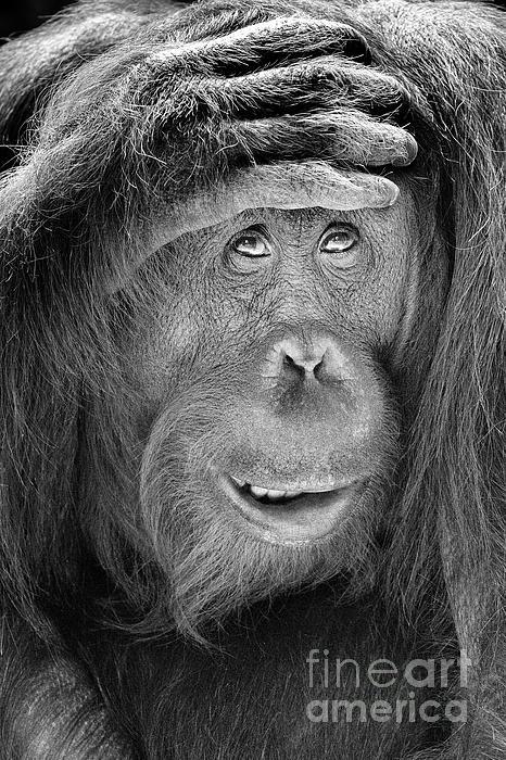 Linda D Lester - Orangutan With Hand Over Head