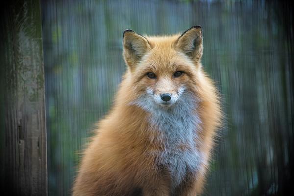 Bob Cuthbert - Red Fox
