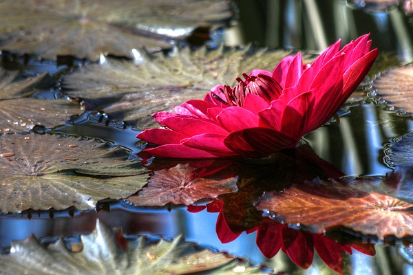 Carol R Montoya - Red Water Lily
