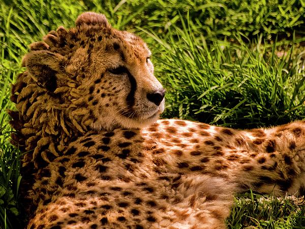 Jay Lethbridge - Southern Cheetah