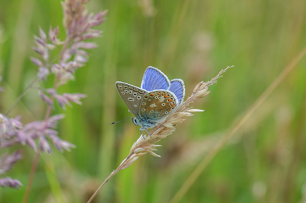 Stephen Jenkins - The Common Blue Butterfly