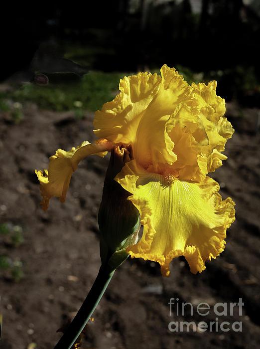 Robert Bales - Yellow Iris