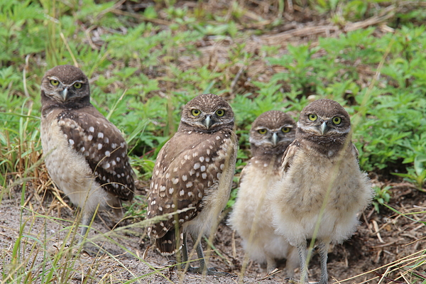 Donald Hazlett - Burrowing Owl